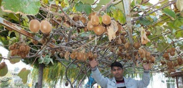 Silifke'de Kivi Üretimi Yaygınlaşıyor