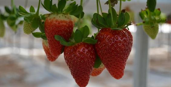 Silifke'de Topraksız Tarım ile Çilek Üretimi