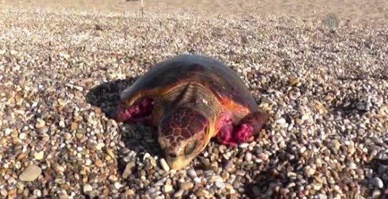 Sokak Köpeğinin Saldırdığı Deniz Kaplumbağası Koruma Altında