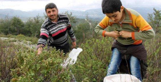 Suriyeliler Dağ Bitkileri Toplayarak Geçimlerini Sağlıyor
