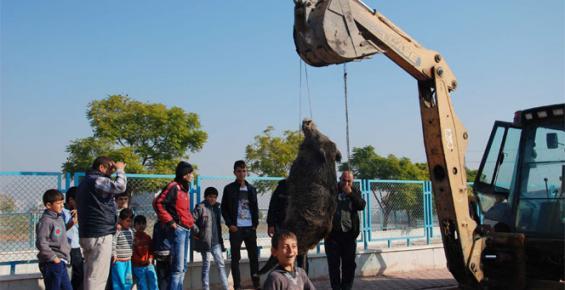 Tarsus'ta Şehre İnen Yaban Domuzu Vurularak Öldürüldü