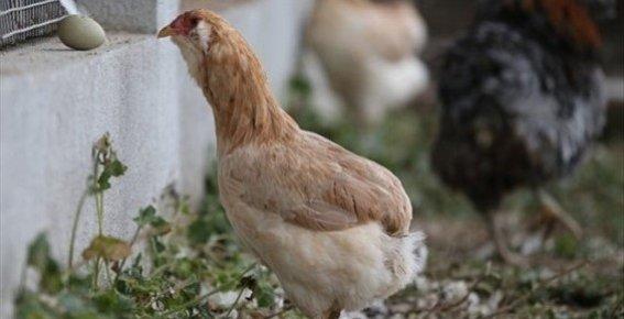 Tavuk'ta Yeşil Yumurtlarsa...