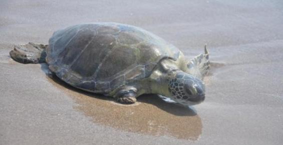 Tedavi Edilen 16 Deniz Kaplumbağası Doğal Yaşamına Bırakıldı