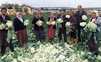 Mersin'de Karnabahar Tarlada Kaldı