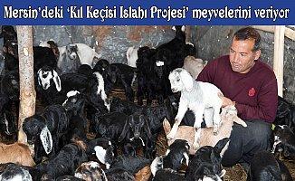 Mersin'de Kıl Keçisi Islahı Projesi' Meyvelerini Veriyor
