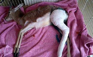 Mersin'de Bacağı Kırılan Yavru Ceylana Platin Takıldı