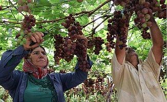 Yılın İlk Üzüm Hasadı Üreticiyi Memnun Etti