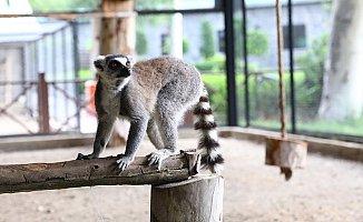 Hayvan Parkındaki Lemurlar İlgi Odağı Oldu