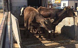 Genç Çiftçilere 395 Baş Hayvan Teslim Edildi