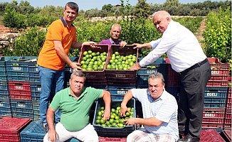 Erdemli'de Limon Hasadı Başladı