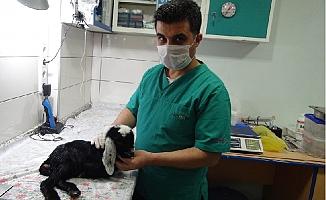 Silifke'de Oğlağa Ameliyatla Anüs Açıldı