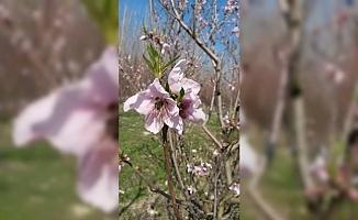 Mut'tta Şeftali ve Erik Ağaçları Erken Çiçek Açtı
