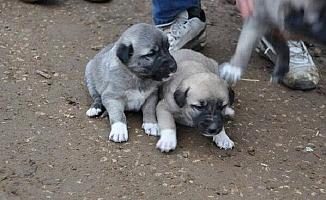 Tavuk, Zeytinyağı ve Yavru Köpek Çalan Hırsızlar Tutuklandı