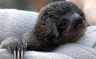 Ağaçtan Düşen Yavru Tembel Hayvanın Annesiyle Buluşma Anı Göz Yaşarttı
