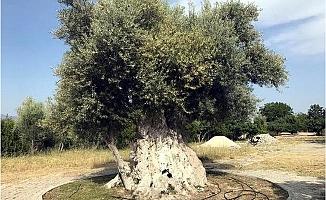 İşte Cumhurbaşkanı Erdoğan'ın Mersin'de Bahsettiği O Zeytin Ağacı
