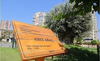 Anıt Ağaç Zeytin Verdi