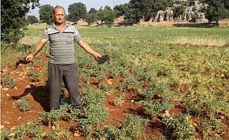 Çiftçiden Domuzlardan Korunmak İçin İlginç Yöntem