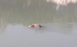 Domuz Leşini Görüp İnsan Sandılar