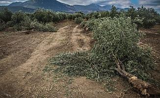 11 Bin Zeytin Ağacı Katledilecek!