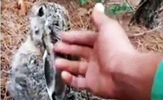 Avcılardan Kaçan Tavşan Çobana Sığındı