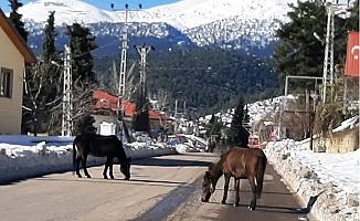 Çamlıyayla İlçesinde Yiyecek Bulamayan Yabani Yılkı Atları Yollara İndi