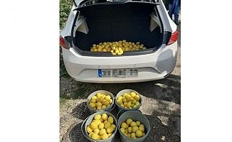 Erdemli'de Limon Hırsızları Yakalandı