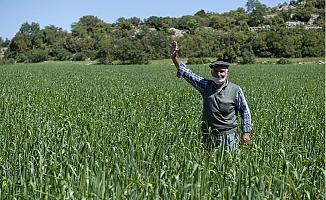 Mersin Büyükşehir'den Genetiği Değiştirilmemiş Buğday Üretimine Destek