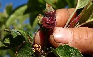 Mersin'de Ani Sıcaklık Düşüsü, Meyve Bahçelerinde Zarara Neden Oldu.