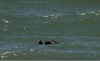 Mersin'de Deniz Kaplumbağalarının Çiftleşmesi Görüntülendi