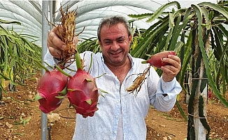 Ejder Meyvesi Olarak Bilinen Pitayaya, Arap Ülkelerinden Yoğun Talep