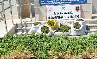 Mersin'de Kenevir Yetiştirilen Tarlanın Sahibi Tutuklandı