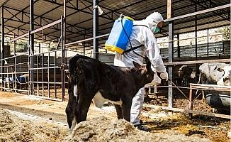 Büyükşehir'den Hayvanlarda Görülen Üçgün Hastalığına Karşı Önlem