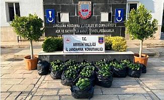Mersin'de 7 bin liralık avokado hırsızlığına suçüstü