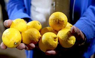 Limonun Kilosu 1,5 TL'ye Düştü