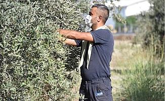 Büyükşehir Daldaki Zeytini Vatandaşın Sofrafına Ulaştırıyor