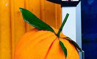 Tanesi 1 Kilogramı Geçen Portakallar Görenleri Şaşkına Çeviriyor