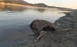 Domuz Leşi 15 Gündür Berdan Barajı Gölünde