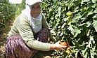 Büyükşehir Belediyesi'nin Çamlıyayla'da Dağıttığı Domates Fideleri İlk Ürünü Verdi