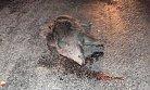 Domuza Çarpan Motosikletli Yaralandı