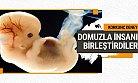 Domuzla İnsan Embriyosunu Birleştirdiler Sebebine Bakın