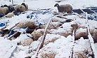 Mersin'de 125 Küçükbaş Hayvan Telef Oldu