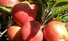 Mersin'de Üreticinin Elması Dalında Kaldı.
