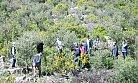 Tarsus'ta Zeytin ve Harnup Ağaçları Aşılandı