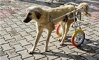 Yürüme Engelli Hayvanlar Yürüteç İle Yaşama Bağlandı.