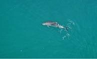 Silifke'de Kıyıda Yüzen Yunuslar İlgi Odağı Oldu