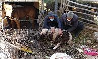 Pitbull Köpekler Ağılda Katliam Yaptı: 6 Koyun Telef Oldu