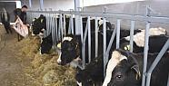Erdemli'de Süt Üretimi Düştü