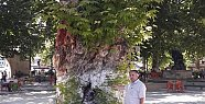 Mersin'de Asırlık Çınar Ağaçları Zararlı Böceklere Teslim