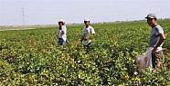Tarım İşçileri 40 Derece Sıcakta Mesai...