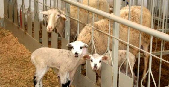 Türkiye'nin İlk Romanov Koyunları Üreticinin Yüzünü Güldürüyor